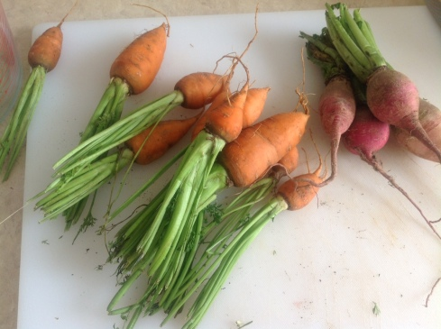 Fat, stubby carrots from my CSA, along with fat, stubby watermelon radishes